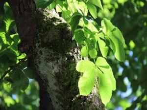 10 Kastanienbaum